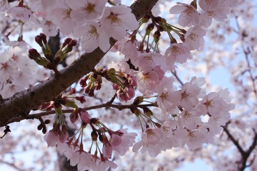 2009年4月6日_お花見2